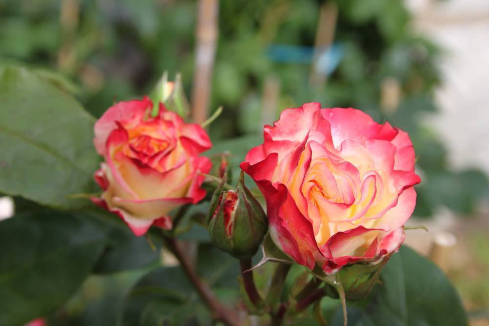 Le jardin des roses photo 0