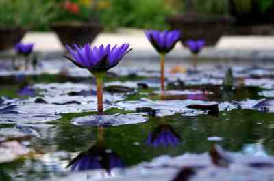 Water-lily garden Latour-Marliac photo 0