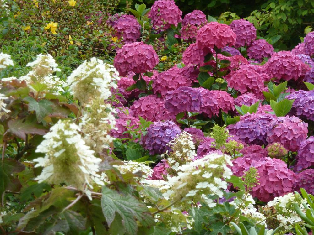 The Hydrangea Walk photo 1