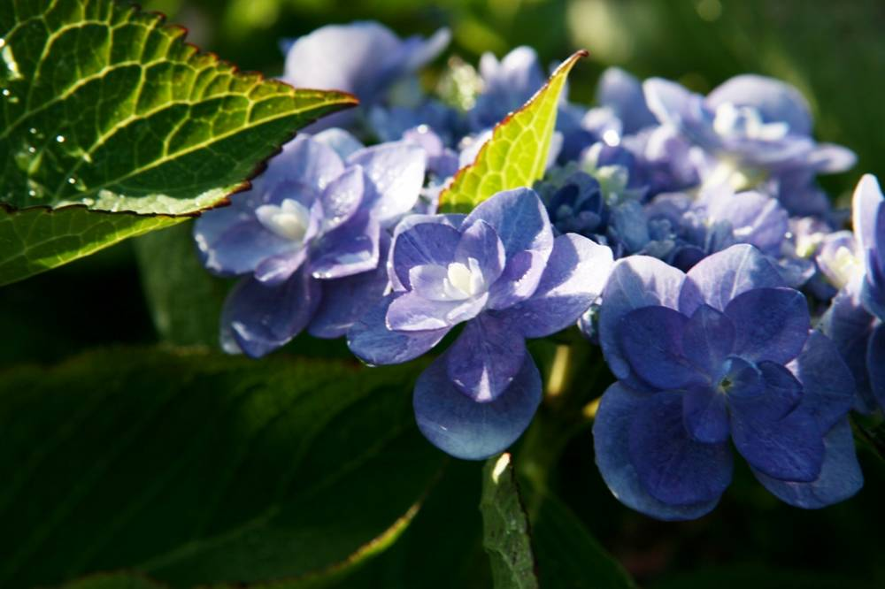 The Hydrangea Walk photo 3