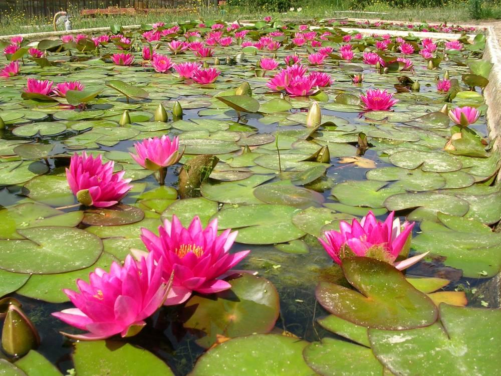 Sp cialiste des plantes aquatiques et semi aquatiques for Vpc jardinerie
