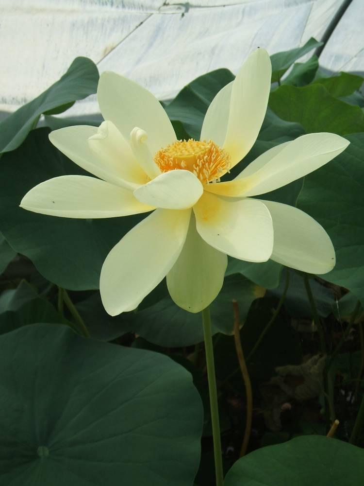 plante aquatique getigne