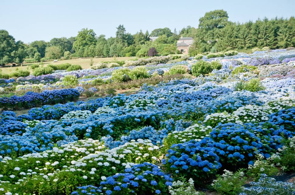 The hydrangea nursery of Haut Bois photo 0