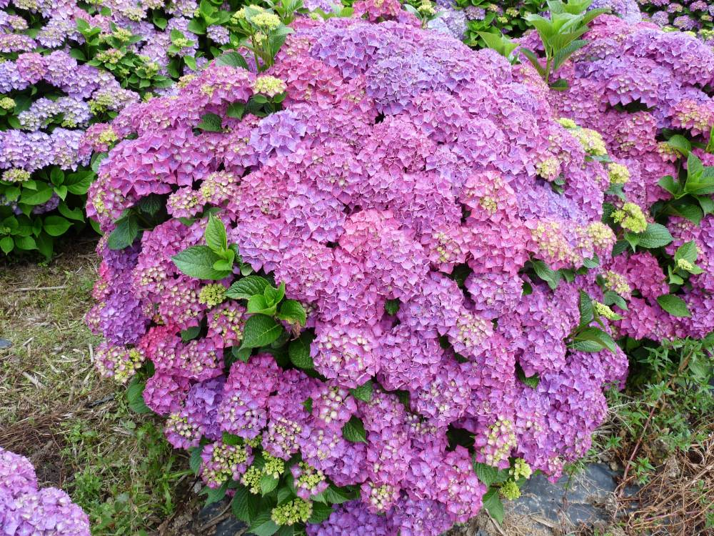 The hydrangea nursery of Haut Bois photo 6