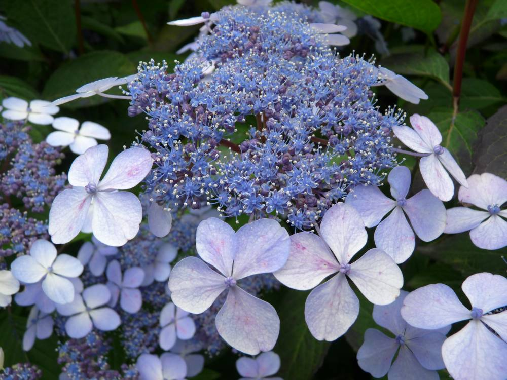 The hydrangea nursery of Haut Bois photo 4