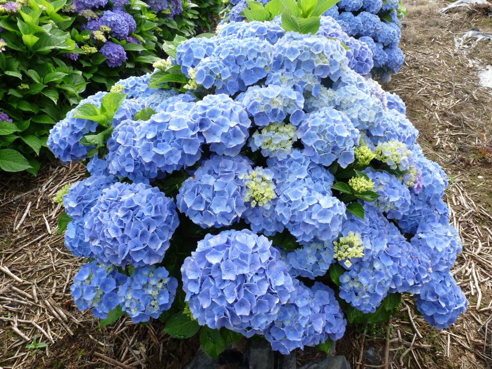 The hydrangea nursery of Haut Bois photo 5