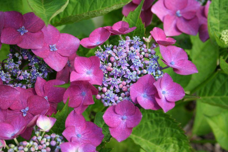 The hydrangea nursery of Haut Bois photo 11