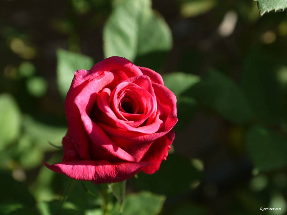 The Roses Of La Charrie photo 6