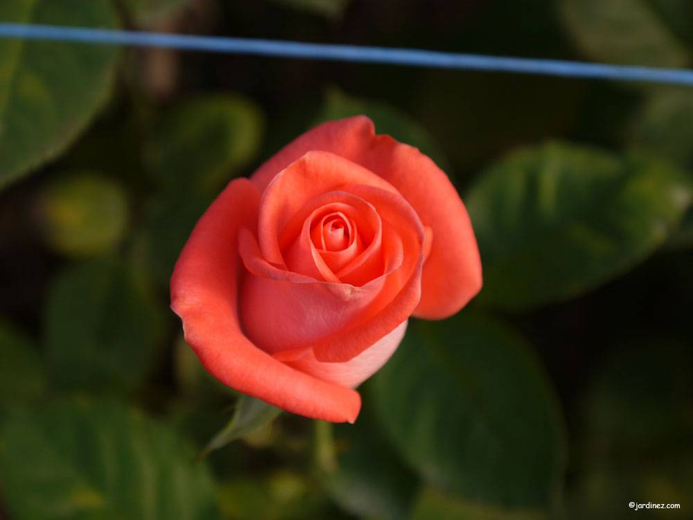 The Roses Of La Charrie photo 7